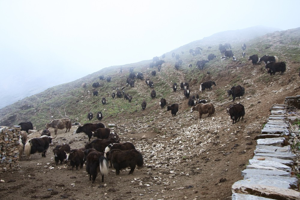 Group of Yak