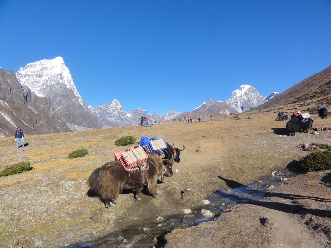 yaks in everest base camp