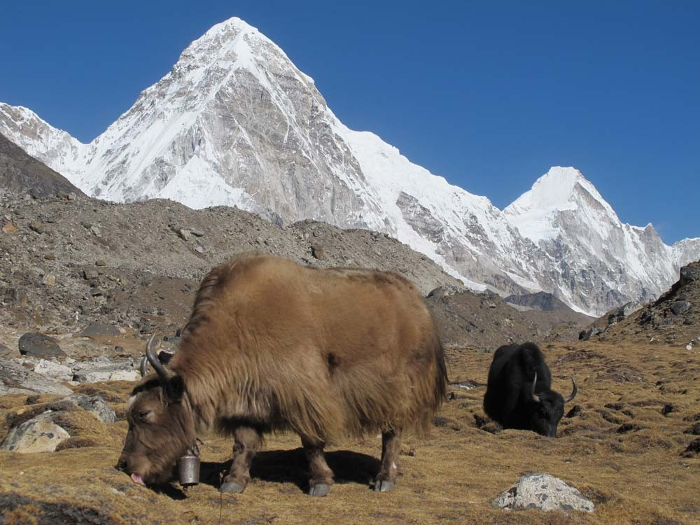Yak grazing in Khumbu
